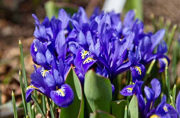early miniature iris