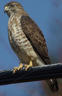 Julie Waters broad winged hawk.JPG
