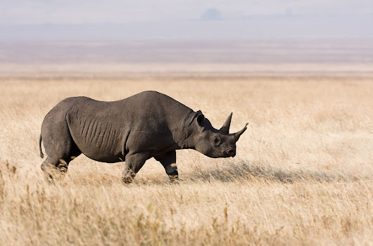 Black rhinos in Tanzania now monitored via sensors implanted directly in their horns