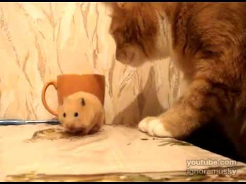 video que muestra a un hamster comiendose su comida rapido por si un gato se la quita