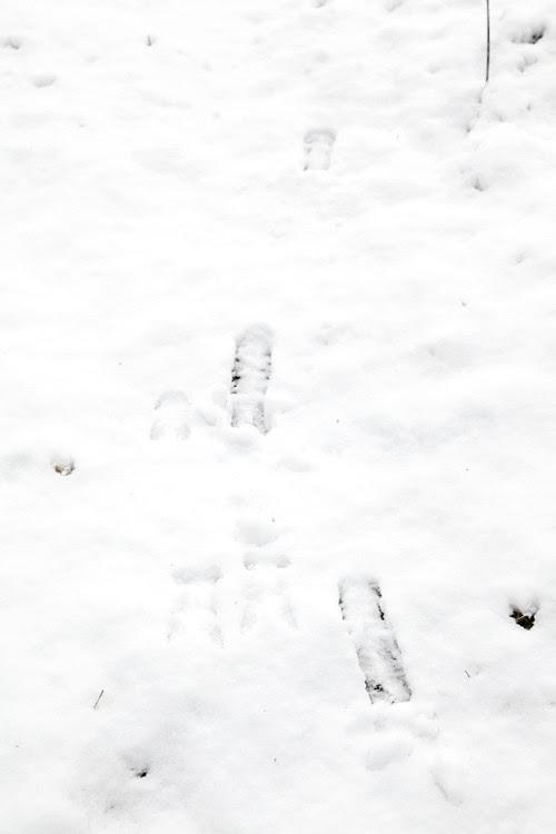 deer tracks in the snow, Kasaan, Alaska