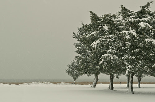Snow on Cedars (2)