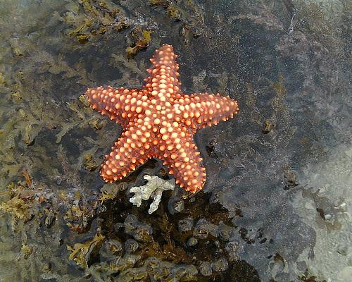 Starfish, Zanzibar, Nungwi Beach