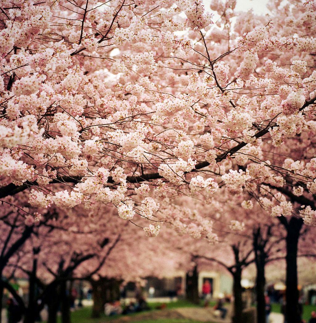 As floradas de cerejeiras mais bonitas em todo o mundo 12