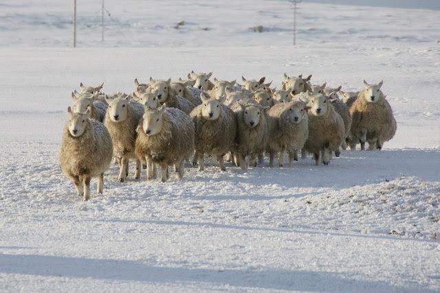 File:Shetland sheep, Baltasound - geograph.org.uk - 1691715.jpg