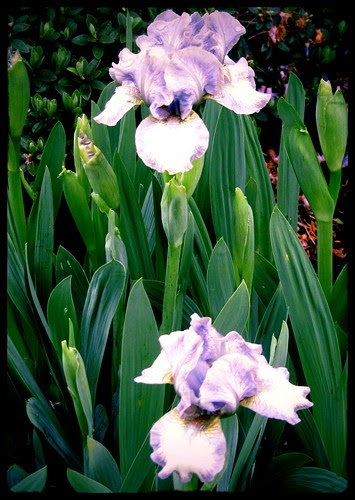 Miniature Irises in Bloom