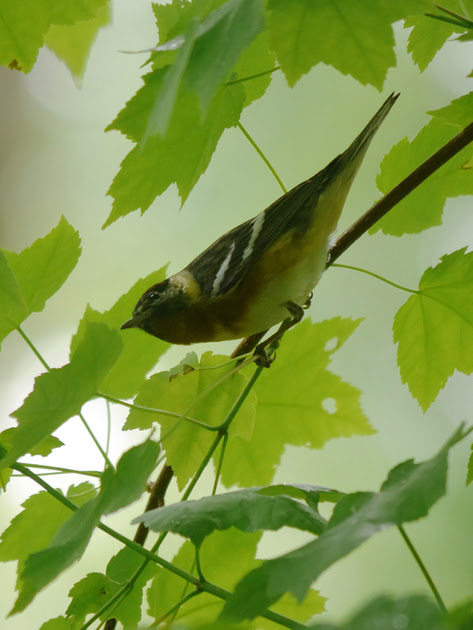 Ed Gaillard: birds &emdash; Bay-Breasted Warbler, Azalea Pond