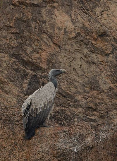 Indian Vulture, Gyps indicus
