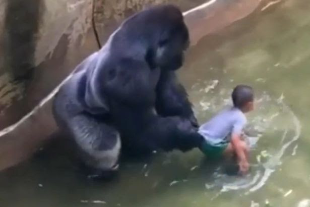 picture of 4 year old boy and harambe gorilla that was shot dead