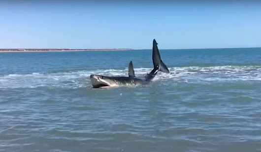 Video: Man Wading in to Check Out Great White Shark Outside His Home Stung by Stingray | OutdoorHub
