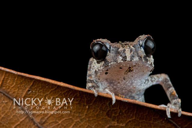 Black-eyed Litter Frog (Leptobrachium nigrops) - DSC_8596