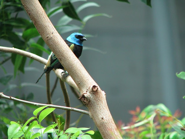 Blue-necked Tanager, CAS Rain Forest