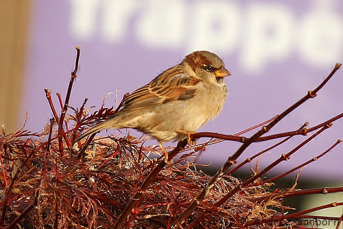 Connecticut sparrows  -24.jpg