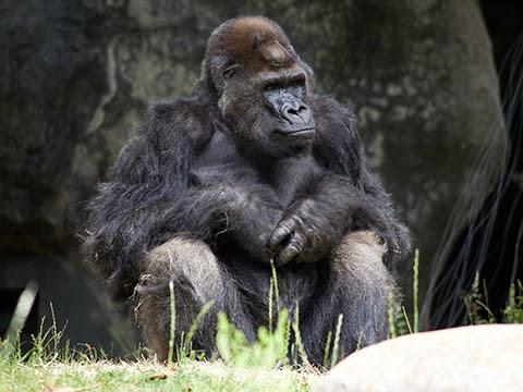 gorilla_ivan_ZA_4048