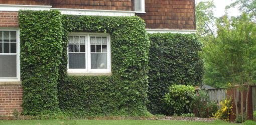 Growing Ivy and Other Climbing Vines on Old Brick Masonry | Today's Homeowner