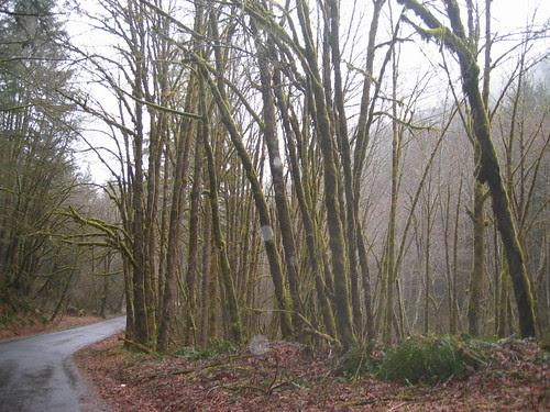 Mossy Trees on Fern Flat Rd