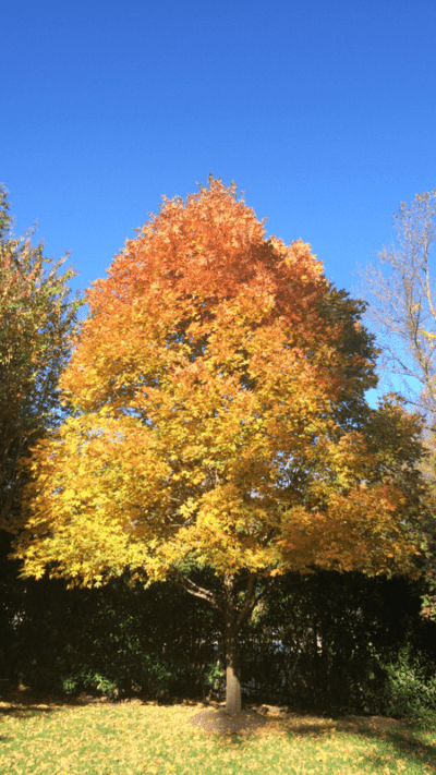 Plant of the Week: Sugar Maple - D & A Dunelvy Landscapers