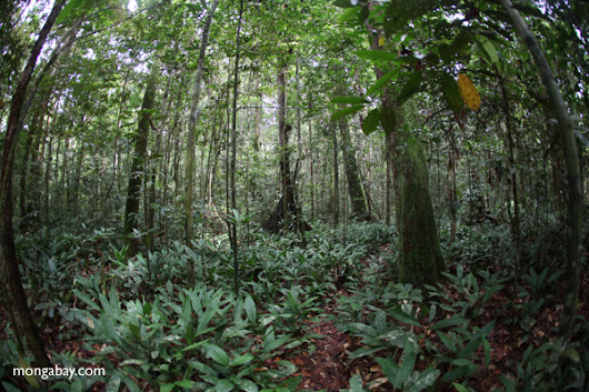 Reforestation programs may help reduce illegal logging in Indonesian Borneo