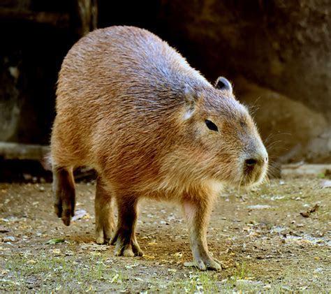 Capybara   The Cincinnati Zoo & Botanical Garden