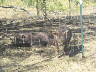 Duroc Boar Fred and Gilt Wilma