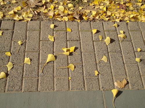 11/22/10 ginko tree on Princeton's campus