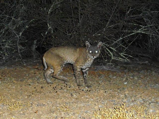 bobcat with notoedric mange
