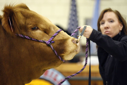 Cattle prices up at stock show