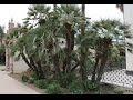 Landscaping European Fan Palm