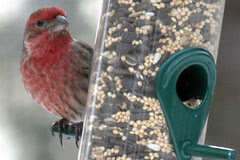 house or purple finch 042