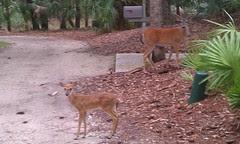 Vishus baby deer