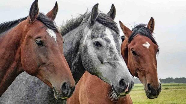 Problemas respiratorios en el caballo