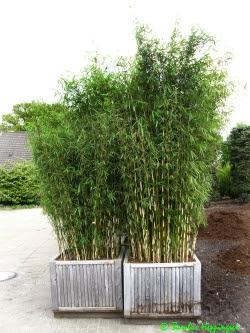Bambus Im Kubel Uberwintern