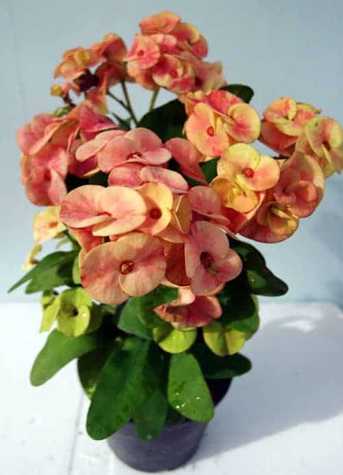 How to grow and care Euphorbia Milii?