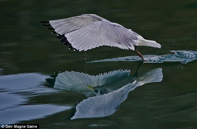 Graceful: A third image shows the bird in the moment of takeoff, with its feet barely touching the surface of the water like a ballerina on tiptoe