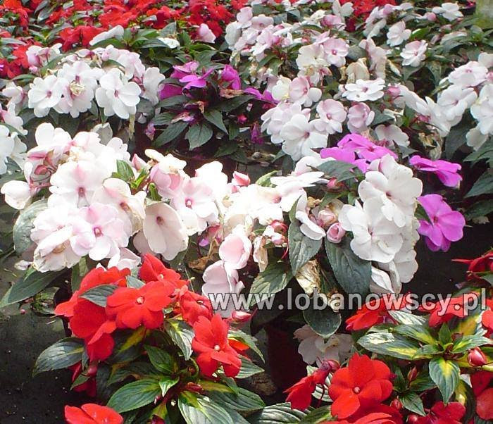 Ej łobanowscy Zakład Ogrodniczy Kwiaty Balkonowe I Rabatowe