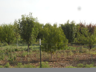 2017 Orchard in June