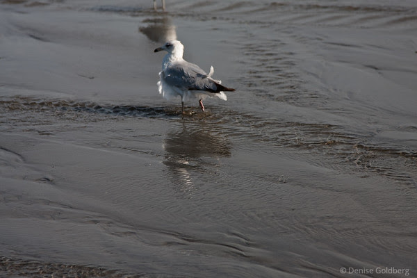 sea gull, feathers ruffled by the wind