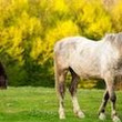 Stop Romanian Horse Slaughter - The Petition Site