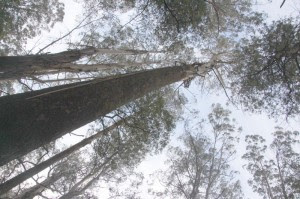 Alpine Ash canopy near Toolangi