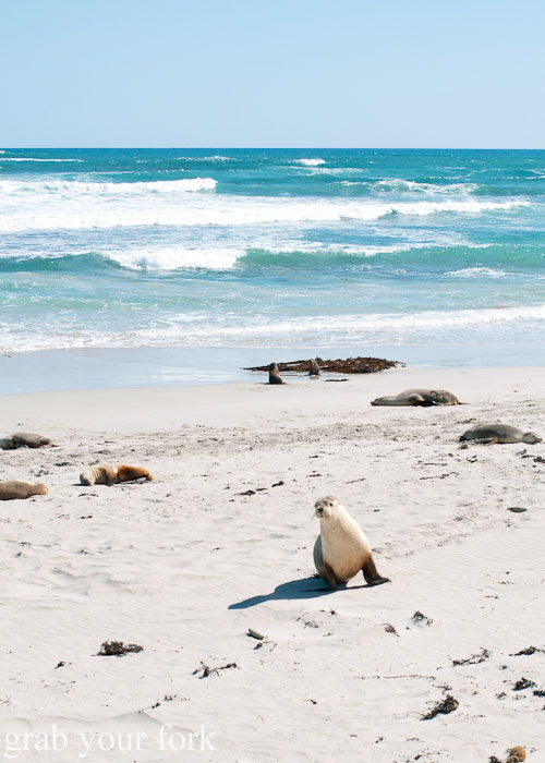 Sea lion walking up the beach at Seal Bay Conservation Park, Kangaroo Island