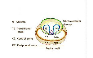 Zones of prostate