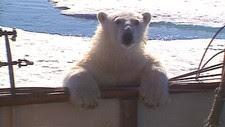 Isbjørn (Foto: Trygve Berge)