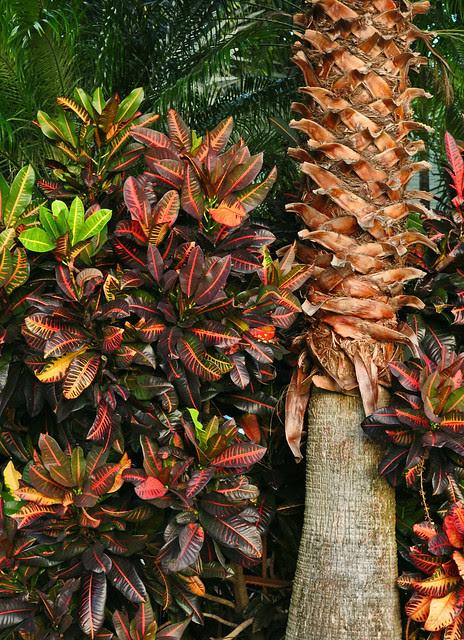 Croton Palm