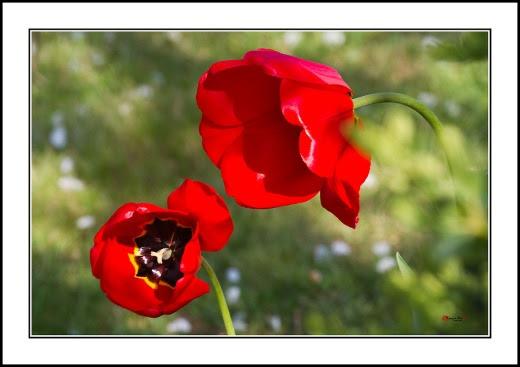 012 Tulip