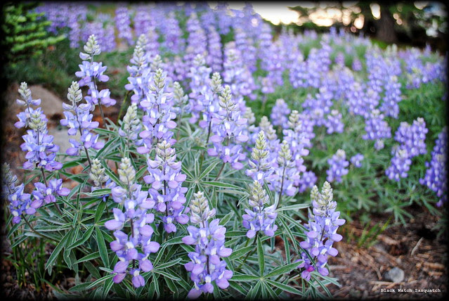Lupine fields at Timberline Lodge