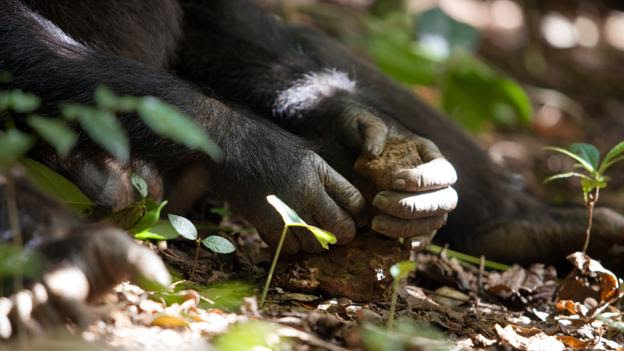 A chimpanzee uses a stone hammer (Credit: Justine Evans/NPL)