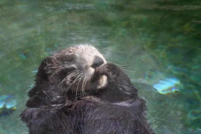 Sea Otter, Oregon Coast Aquarium