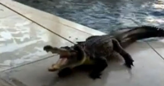Alligator Found Swimming Laps In Florida Family's Pool