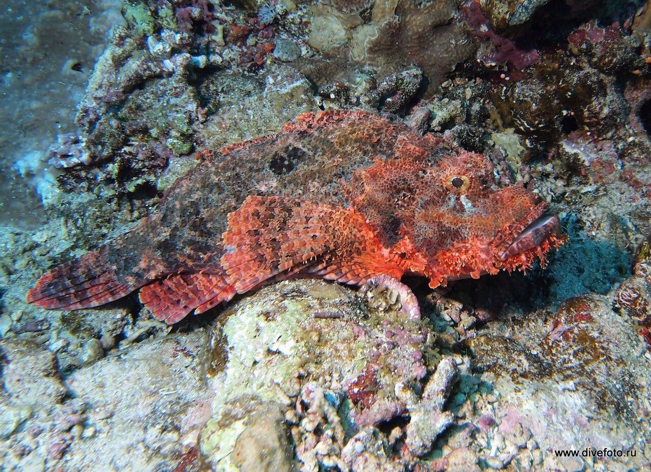 Scorpion fish, Скорпена. фото самых страшных рыб
