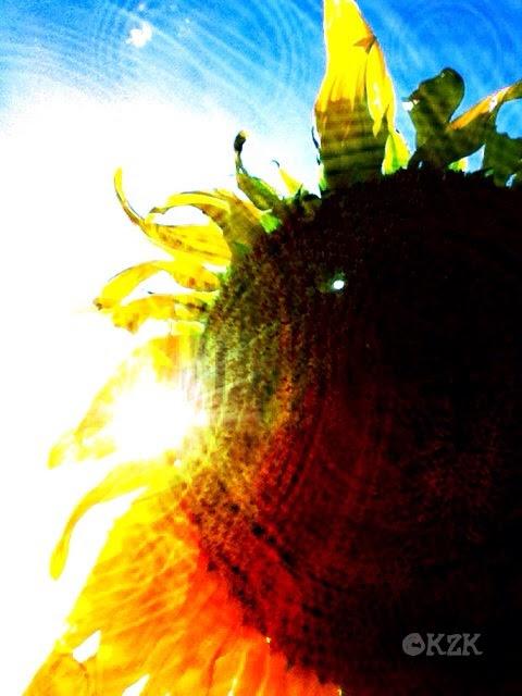 IMG_9024 Kansas Sunflower